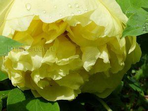 Пион желтый Yellow Crown © Blumgarden.ru