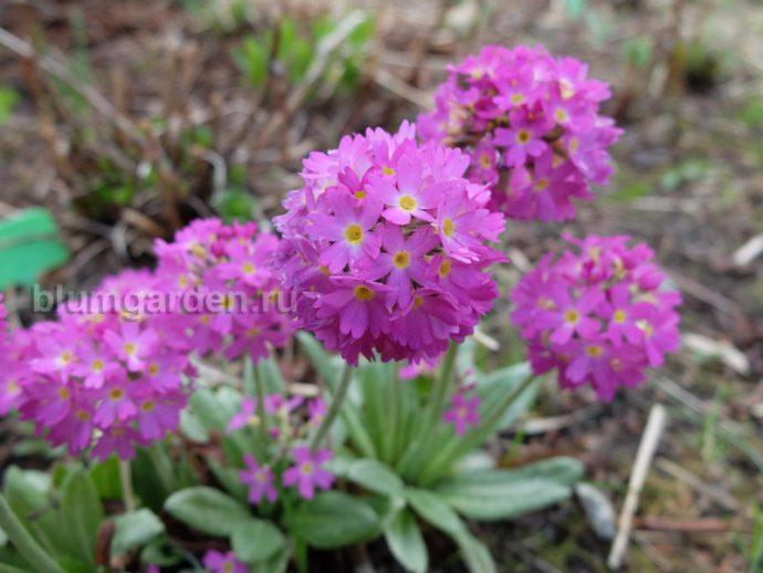 Примула зубчатая (Primula denticulata) © blumgarden.ru