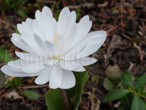 Сангвинария канадская махровая (Sanquinaria Canadenses Plena)