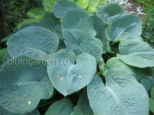 Хоста Тру Блю (Hosta True Blue)