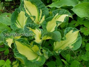 Хоста «Голден Медоуз» (Hosta Golden Meadows)