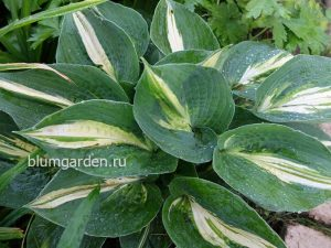 Хоста «Лейксайд Капкейк» (Hosta Lakeside Cupcake)