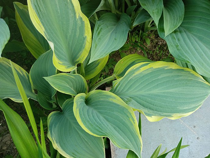 Хоста Regal Splendor декоративно-лиственное растение © blumgarden.ru