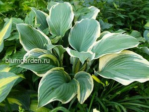 Хоста «Регал Сплендор» (Hosta Regal Splendor)