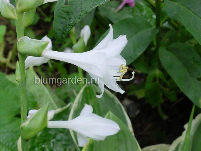 Ароматные белые цветы хосты Соу Свит (So Sweet) © blumgarden.ru