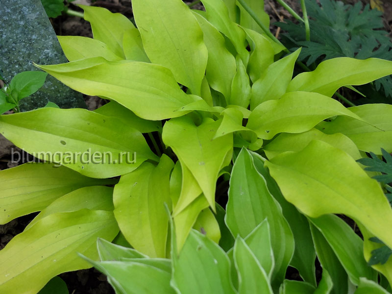 Хоста «Тини Баблз» (Hosta Tiny Bubbles)