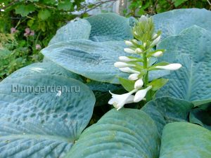 Хоста Тру Блю (True Blue) цветет белыми цветами © Blumgarden.ru