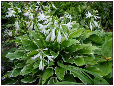 Хоста «Соу Свит» (Hosta So Sweet)