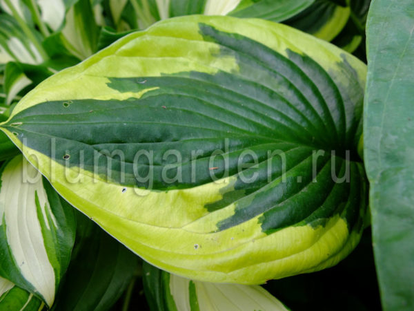 Хоста Твилайт (Hosta Twilight) © blumgarden.ru