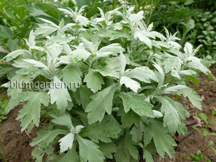 Полынь Пурша (Artemisia purshiana) © blumgarden.ru