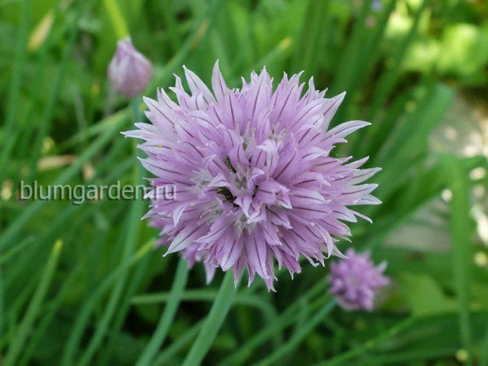 Шнитт-лук (Allium schoenoprasum) © blumgarden.ru