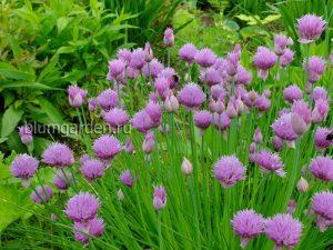 Шнитт лук (Allium Schoenoprasum)