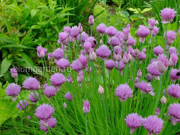 Шнитт лук (Allium schoenoprasum) © blumgarden.ru