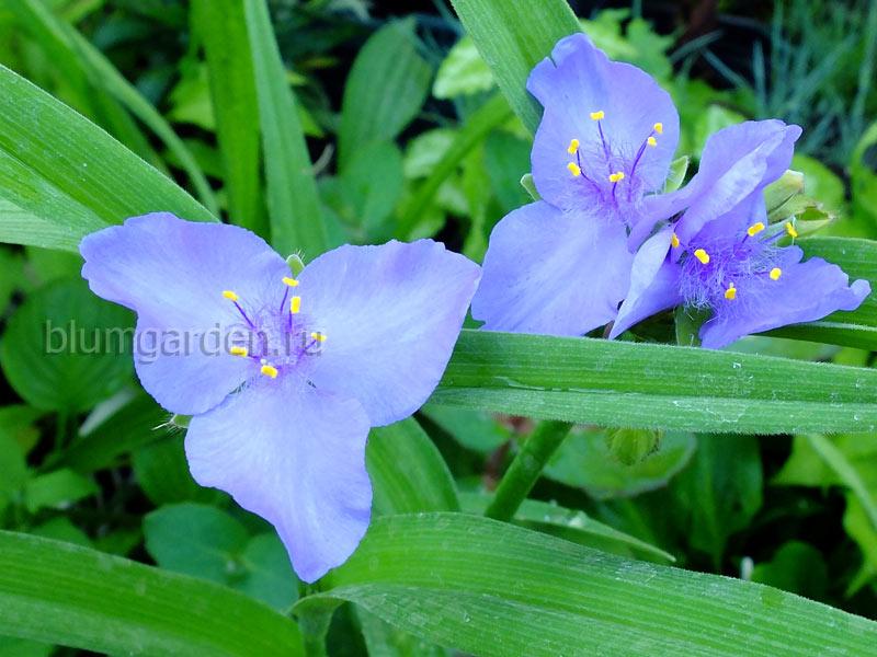 Традесканция садовая голубая