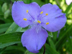 Традесканция садовая синяя