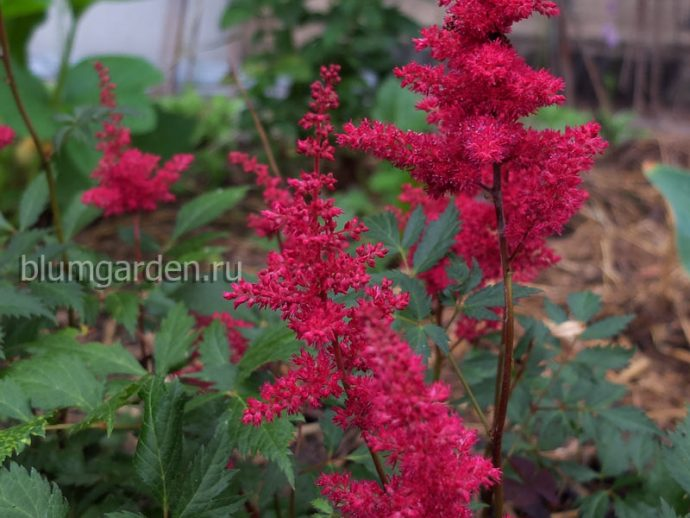 Астильба Fanal («Фанал») распродажа растений© blumgarden.ru