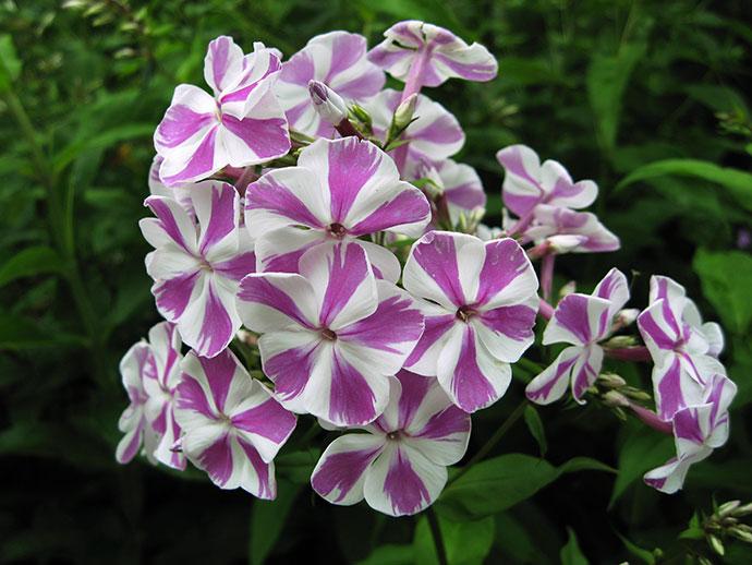 Бело-розовый двухцветный флокс Мишенька © blumgarden.ru