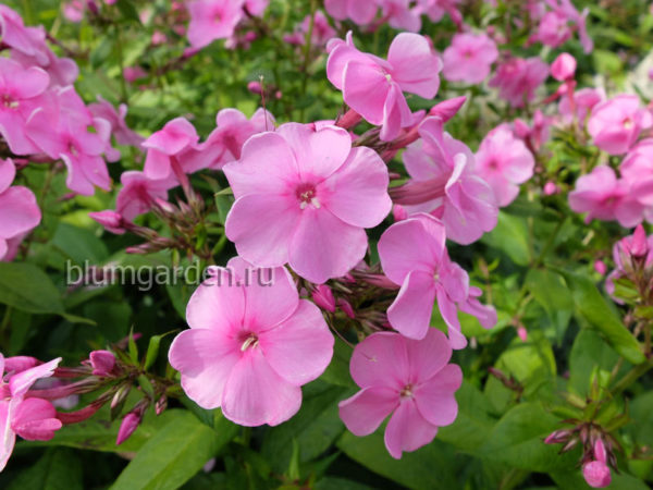 Флокс розовый © blumgarden.ru