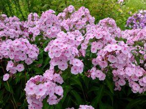 Флокс цветок с розовыми лепестками © Blumgarden.ru