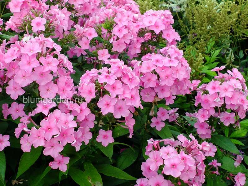 Флокс розовый метельчатый