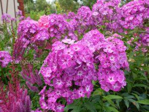 Флоксы метельчатые розовые с белой серединкой