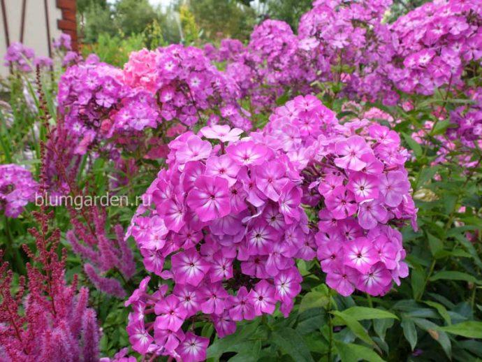 Флоксы метельчатые розовые с белой серединкой © blumgarden.ru