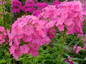 Флоксы многолетние розовые © Blumgarden.ru © Blumgarden.ru
