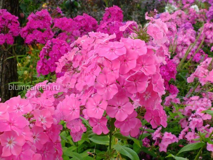 Флоксы многолетние розовые © blumgarden.ru