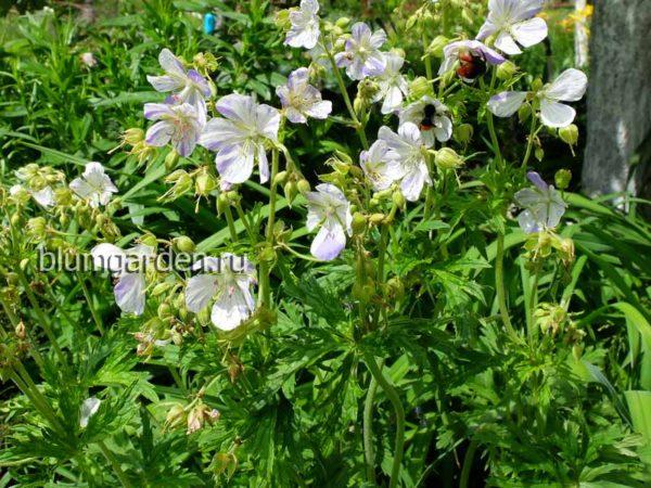 Герань луговая Splish-Splash (Geranium pratense) © blumgarden.ru