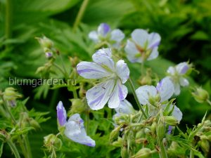 Герань луговая Сплиш Сплэш (Geranium Pratense Splish Splash)