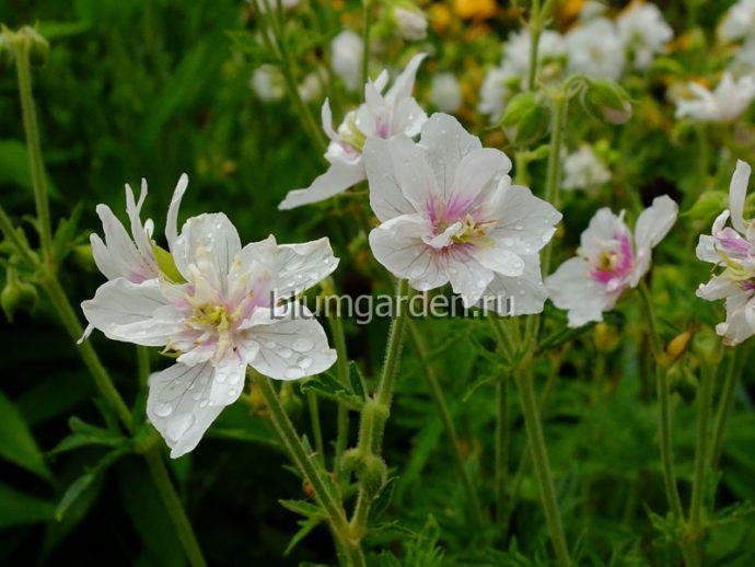 Герань садовая Дабл Джевел (Geranium pratense Double Jewel) © blumgarden.ru