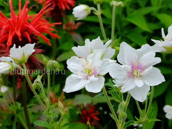 Герань садовая Дабл Джевел (Geranium Pratense Double Jewel)