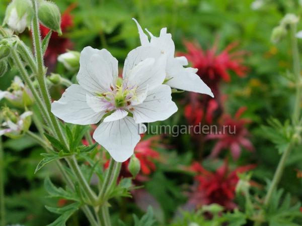Герань садовая (луговая) Дабл Джевел (Geranium pratense Double Jewel) © blumgarden.ru