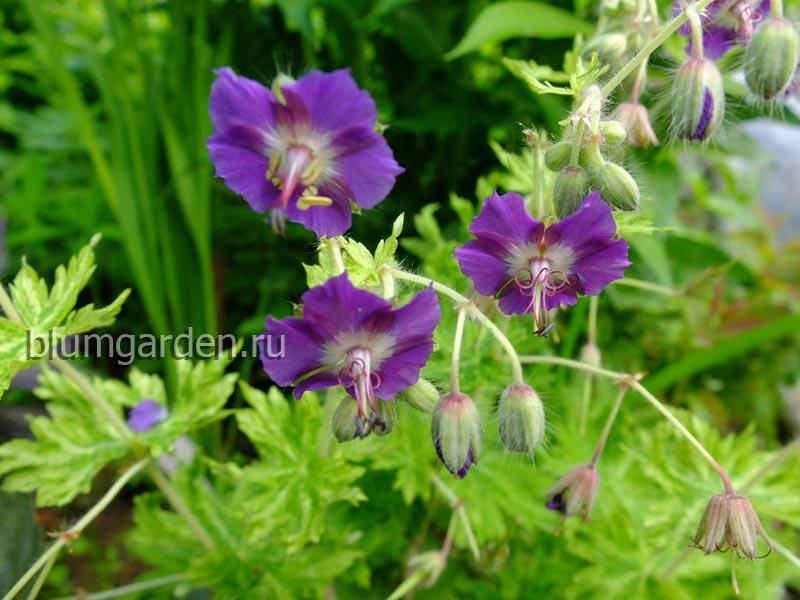 Герань темная Маргарет Уилсон (Geranium phaeum Margaret Wilson) © blumgarden.ru