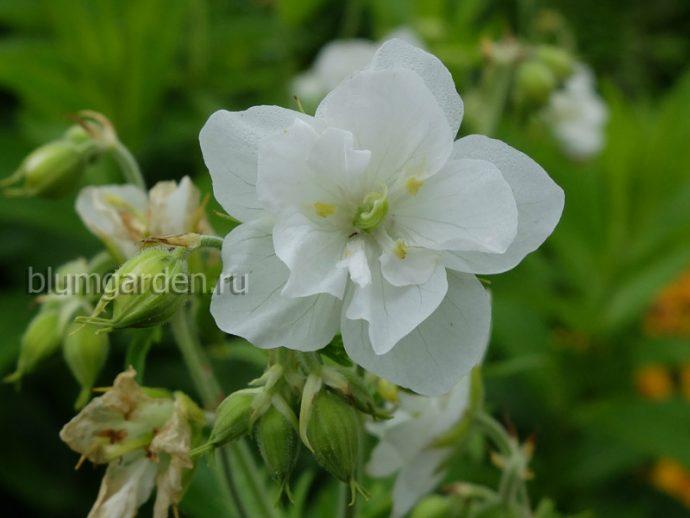Герань садовая Лаура (Geranium Pratense Laura)
