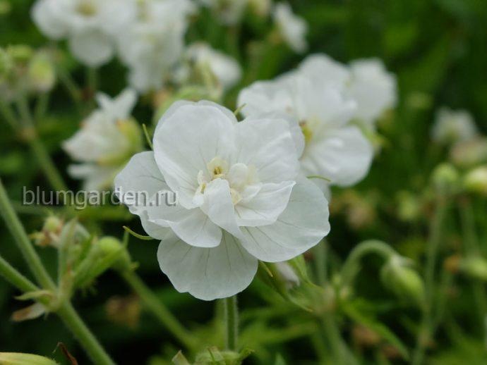 Герань садовая (луговая) Лаура (Geranium pratense Laura) © blumgarden.ru