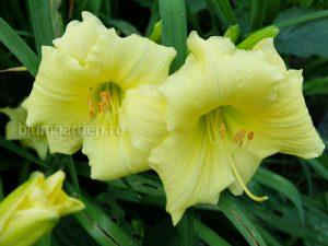 Лилейник бордюрный желтый