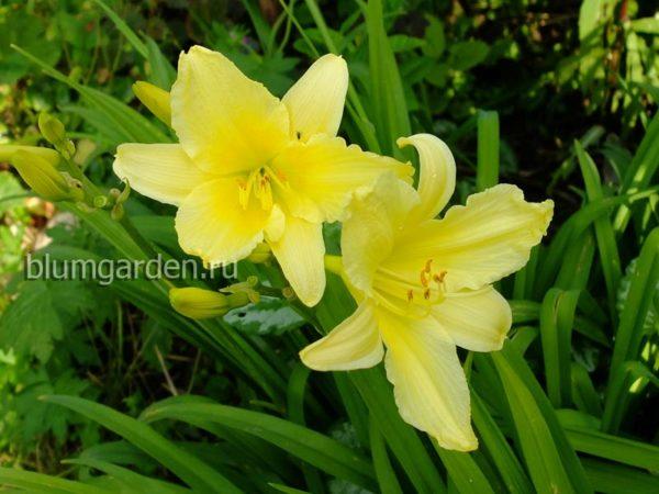 Лилейник бордюрный желтый © blumgarden.ru
