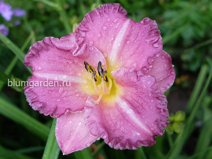 Лилейники розовые