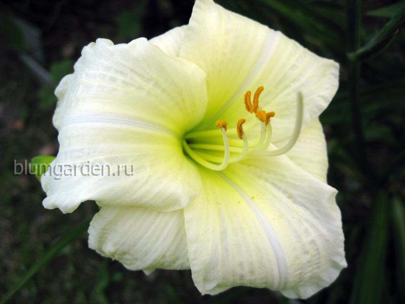 Лилейники белые