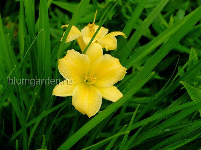 Лилейник карликовый желтый © blumgarden.ru