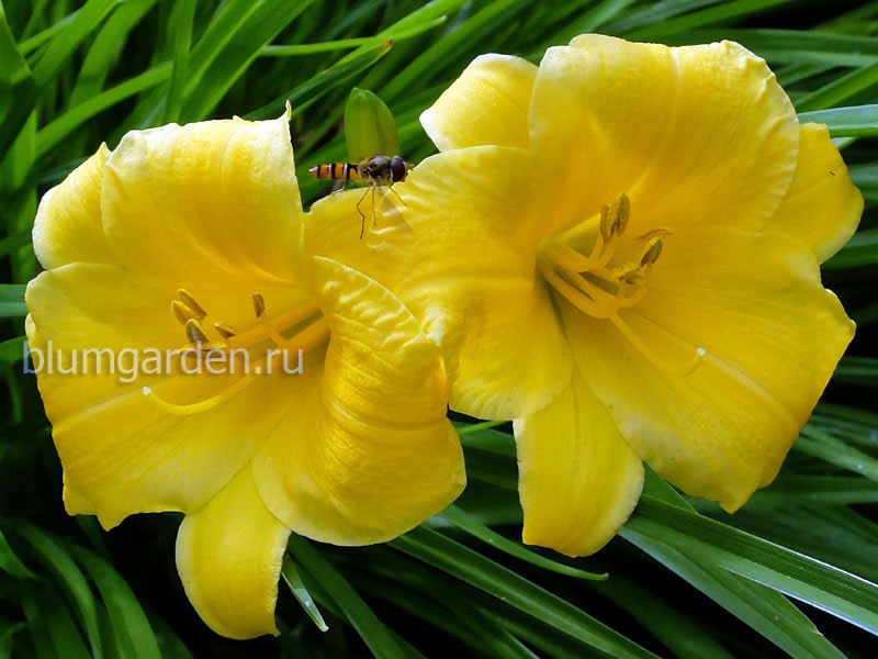 Лилейник карликовый желтый