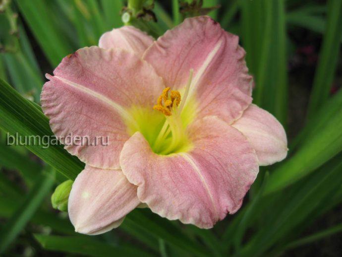 Лилейник Романтик Роуз (Hemerocallis Romantic Rose) © blumgarden.ru
