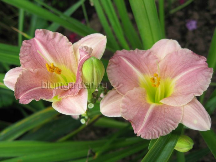 Лилейник Романтик Роуз (Hemerocallis Romantic Rose)