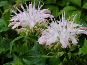 Монарда розовая гибридная (Monarda Fistulosa)