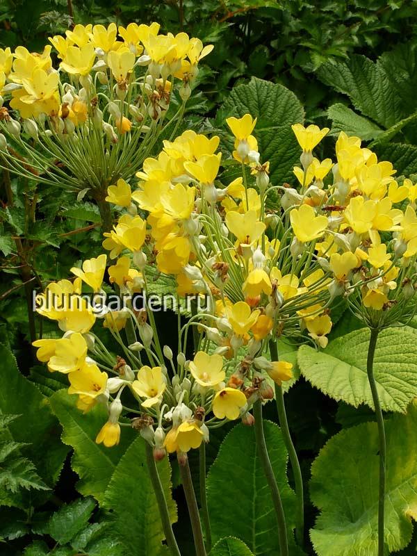 Примула Флоринды (Primula florindae) © blumgarden.ru