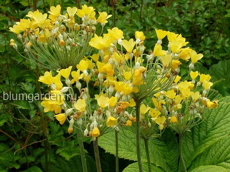 Примула Флоринды (Primula Florindae)