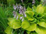 Распродажа многолетних растений для сада © Blumgarden.ru