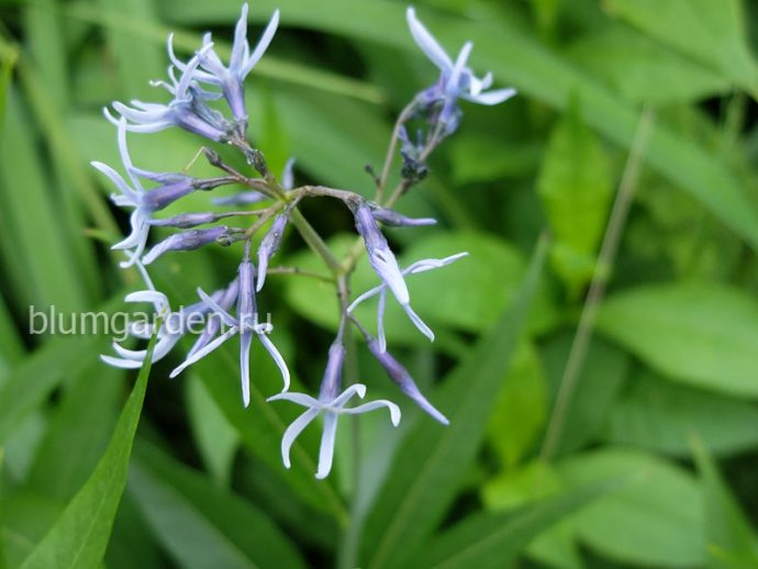Амсония иволистная (Amsonia Tabernaemontana Var. Salicifolia)