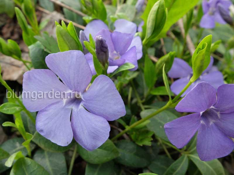 Почвопокровные и стелющиеся растения - Барвинок (Vinca) © Blumgarden.ru